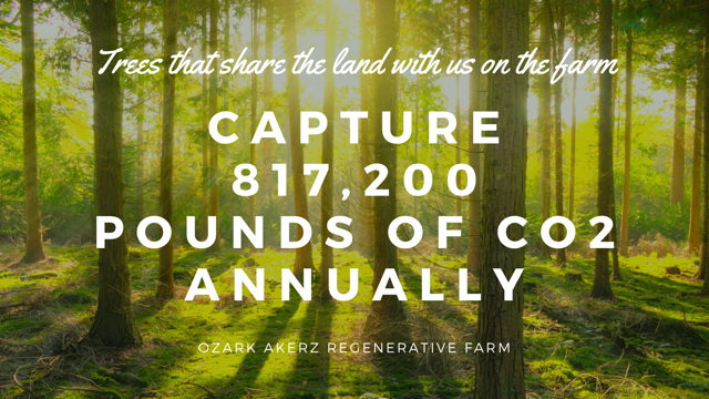 Sun casting shadows through a forest with the overlayed text - The trees on the farm capture 817, 200 pounds of CO2 annually